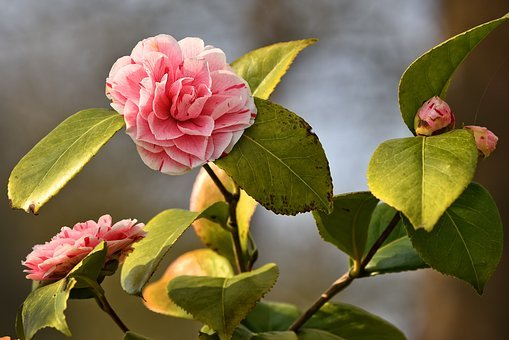 Rododendron uprawa