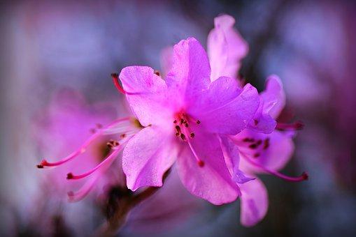 Rozmnażanie i sadzenie różanecznika
